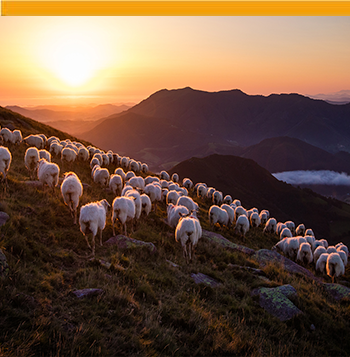 flock of sheep in the basque country