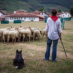 Herd of sheep in the Basque Country